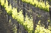 vigne di Orcia